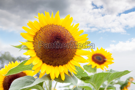 strahlendes gelb einer sonnenblume vor wolkigem
