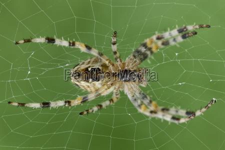european garden spider araneus diadematus sitzt