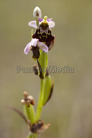 bienen ragwurz ophrys apifera