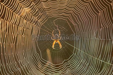 spinne im spinnennetz am fruehen morgenlicht