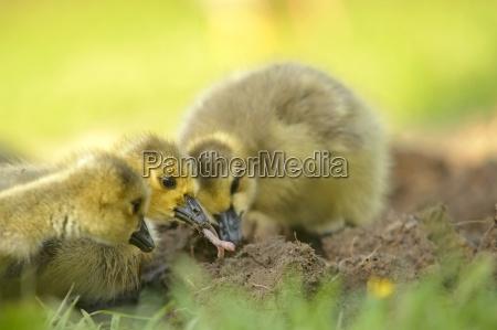 germany schleswig holstein three foraging baby