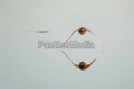 germany schleswig holstein flying maillard anas