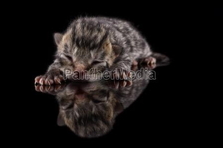 schlafendes kaetzchen felis silvestris catus mit