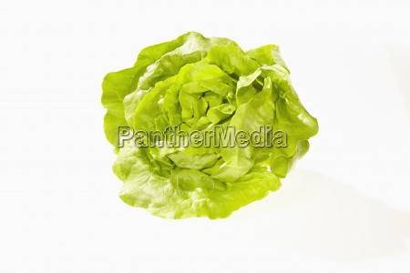 butterhead lettuce lactuca sativa var capitata