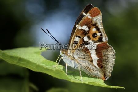 england purple emperor apatura iris