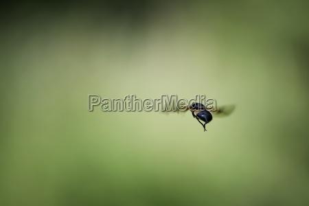 england hoverfly volucella pellucens