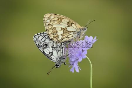 england marbled white melanargia galathea