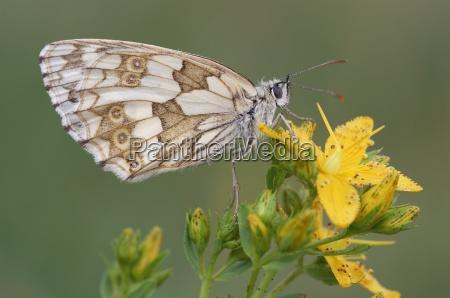 marbled white melanargia galathea on a