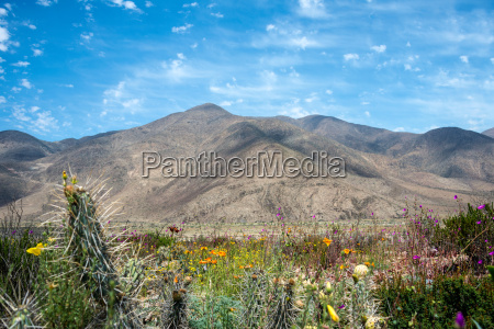 flowering desert spanish