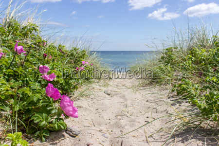 way with beach roses to the