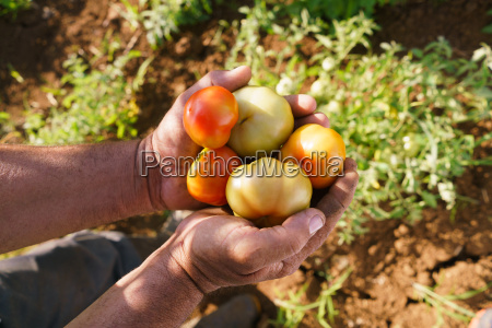 man farmer at work holding tomatoes
