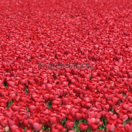 tulpen blumen hintergrund rot im fruehling
