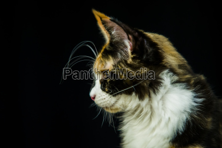 maine coon portrait on black background