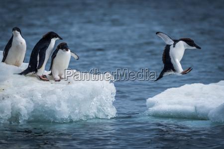 adelie pinguin springen zwischen zwei eisschollen