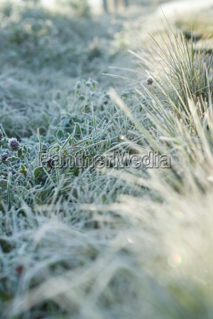 frost covered vegetation