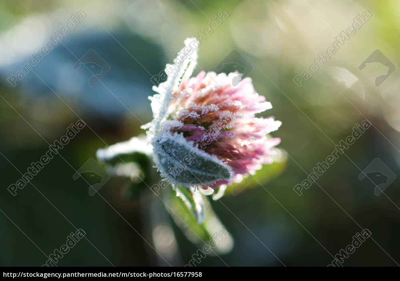 frostbedeckter, klee - 16577958