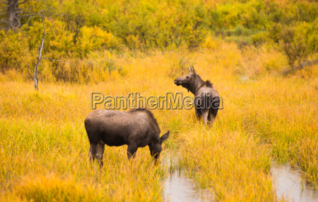wild moose pair animal wildlife marsh