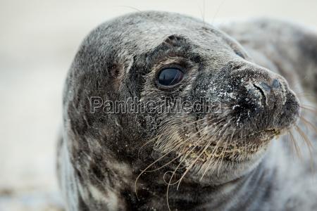 junge atlantic grey seal portrait