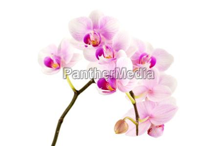 orchidee vor weissen hintergrund