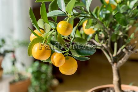little orange tree in a pot