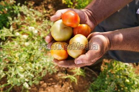 man landwirt in tomaten feld angezeigt