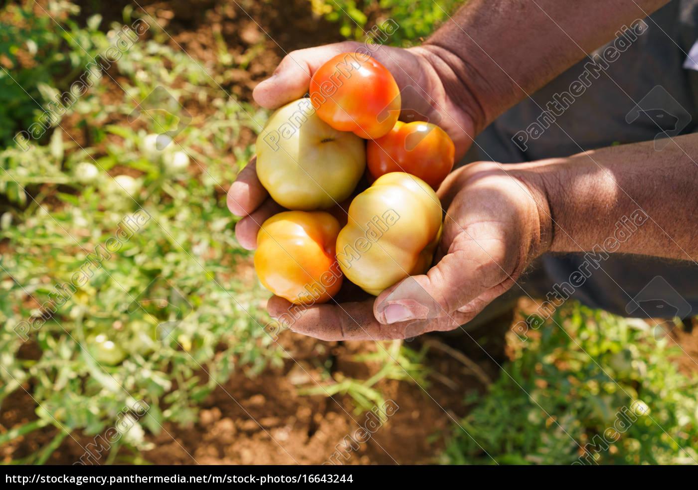 man, landwirt, in, tomaten-feld, angezeigt, gemüse - 16643244