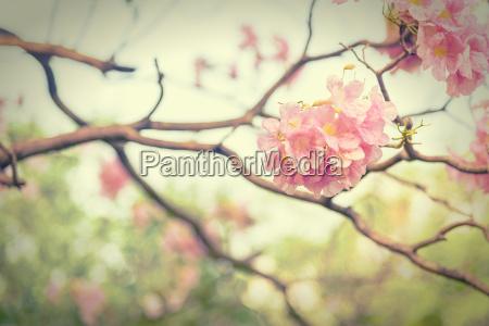 rosa trompetenblume vintage effektstil