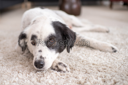 austrailian shepherd lies lazily on a