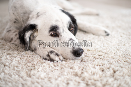 black and white dog portrait lying