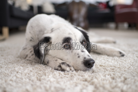 dog lies lazily on fluffy carpet