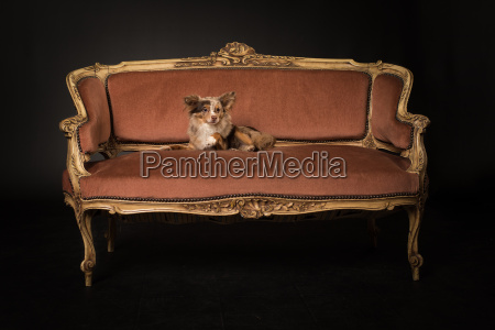 little chihuhahua lies on an antique