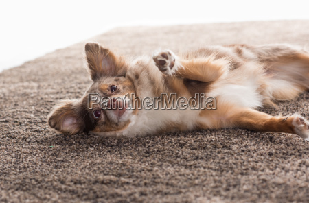 little chihuahua half breed lying on
