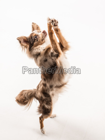 little dog stands on the hind