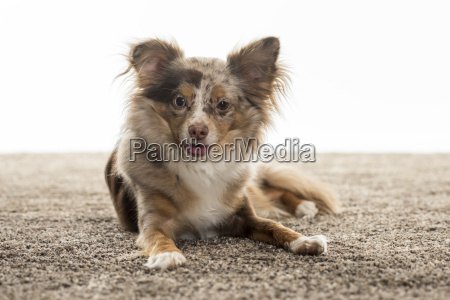 little chihuahua lies on a fluffy
