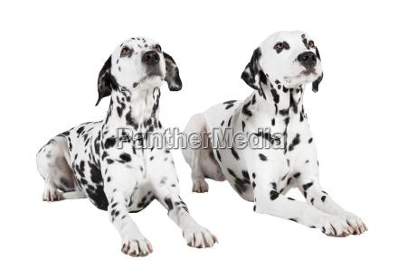 dalmatian two lying