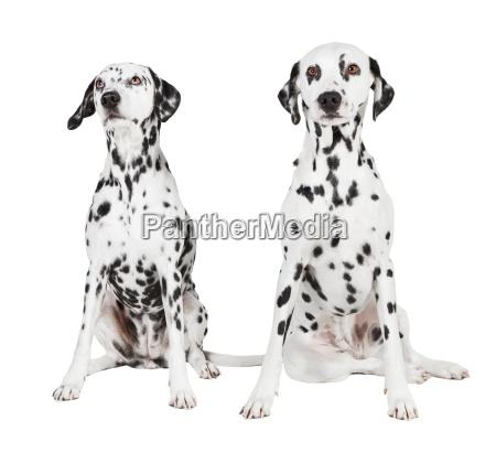 two sitting dalmatians
