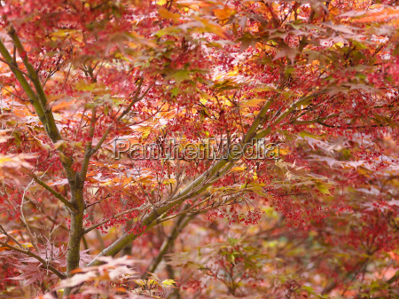 red maple acer tree