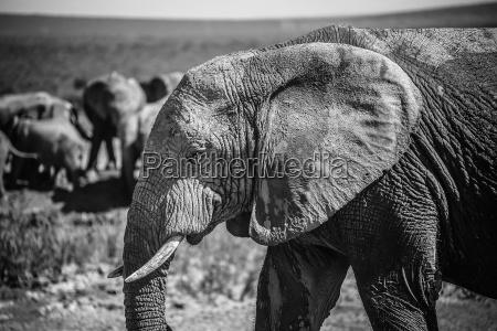 afrikanischer elefant im nationalpark