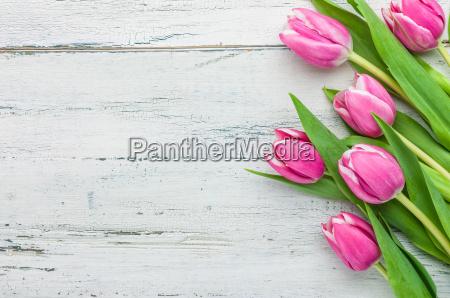rosa tulpen auf weissem holzhintergrund