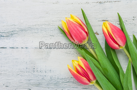 tulpen auf weissem holzhintergrund
