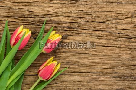 rot gelbe tulpen auf holzhintergrund