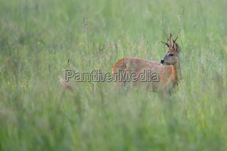 buck deer hidden in the grass
