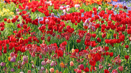 of colors in a motley tulip