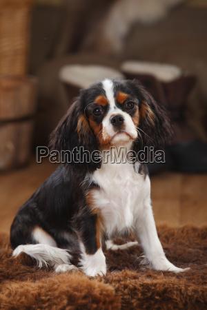 cavalier king charles spaniel puppy tricolour