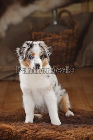 australian shepherd puppy blue merle sitting