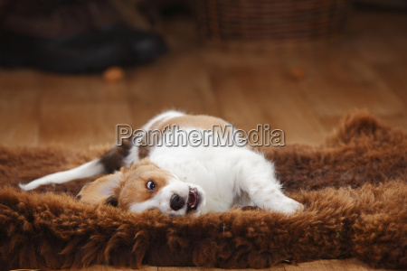 kooikerhondje puppy rolling around on sheepskin