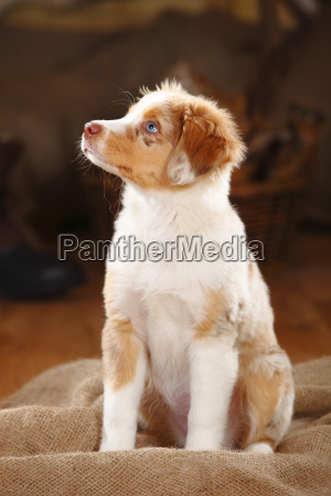 miniature, australian, shepherd, , puppy, , red-merle - 16757848