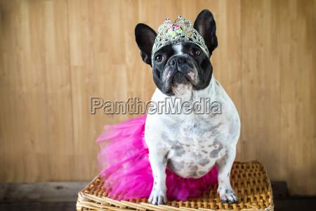 portraet von franzoesisch bulldog verkleidet als