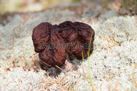 gyromitra esculenta a poisonous mushroom in
