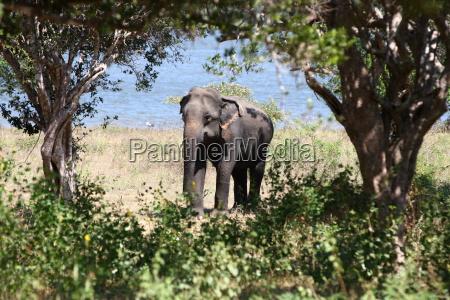 sri lanka safari elefant junger elefant